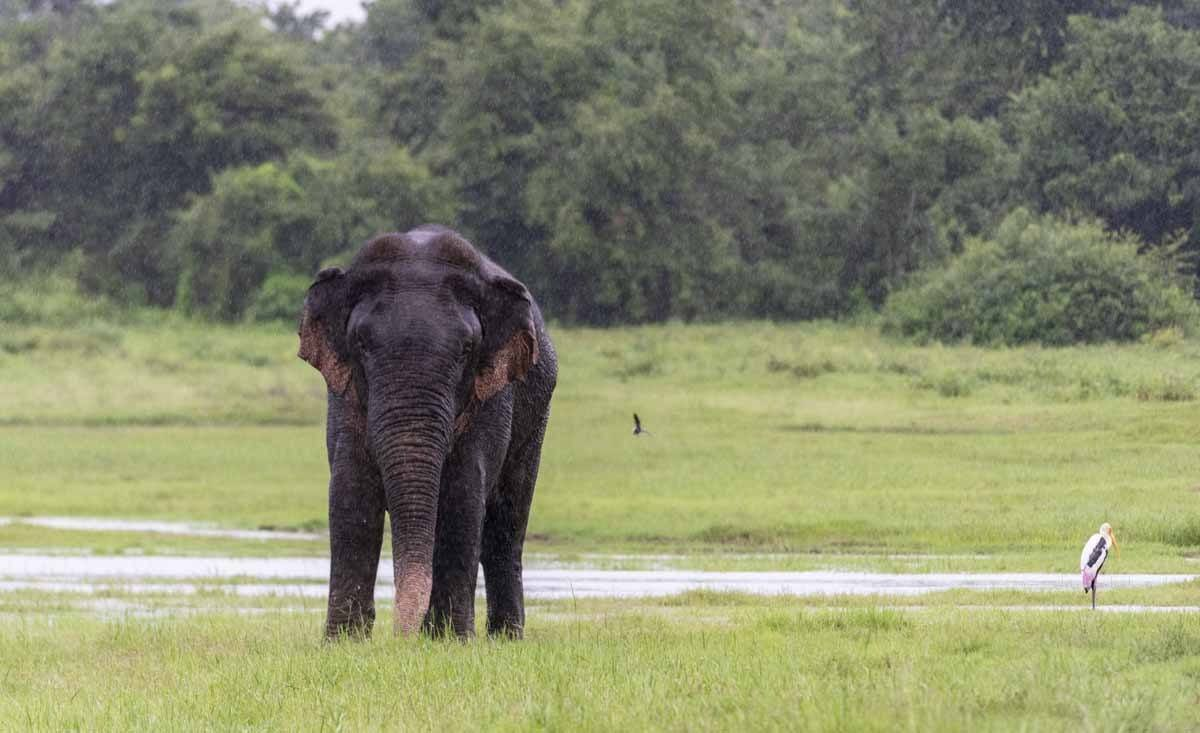 rainy elephant sri lanka