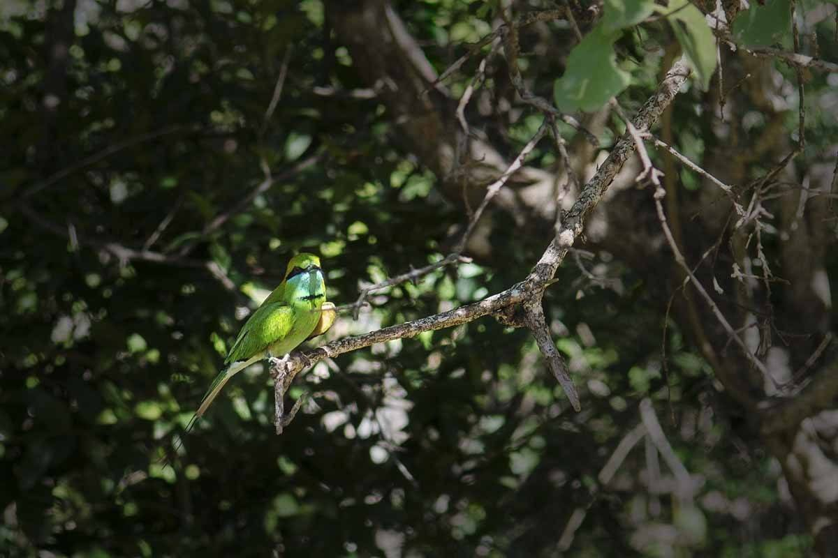 yala national park bee eater