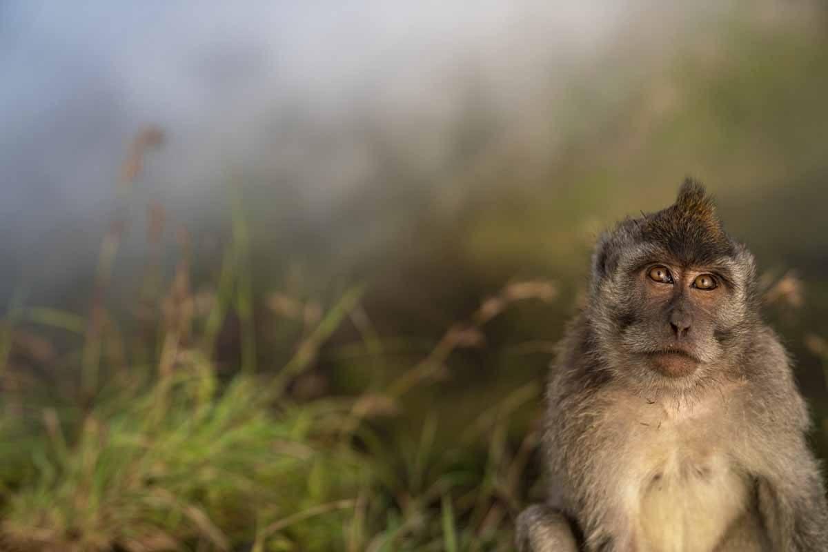 monkey portrair batur