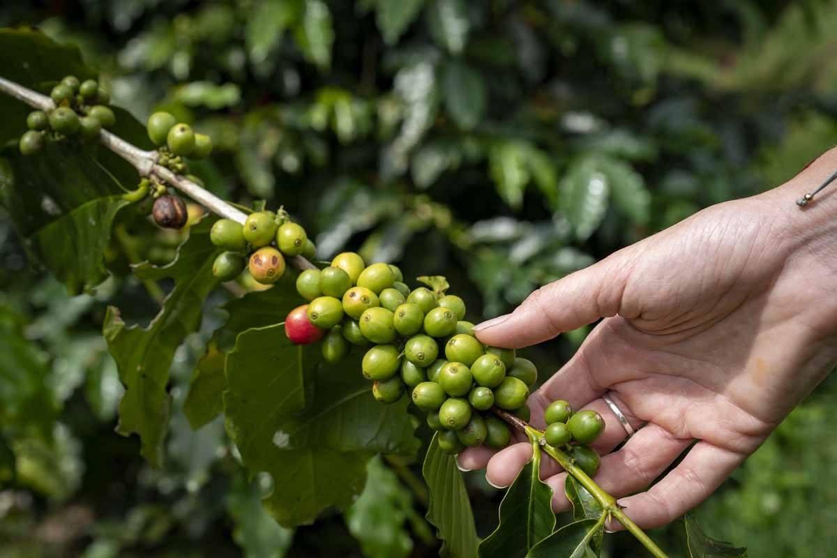 organic coffee bagus agro pelaga