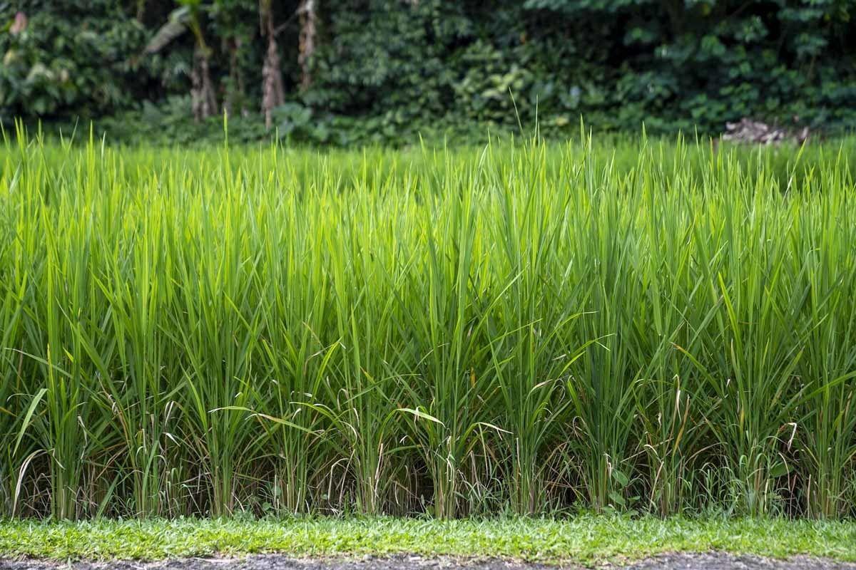 jatiluwih rice growing