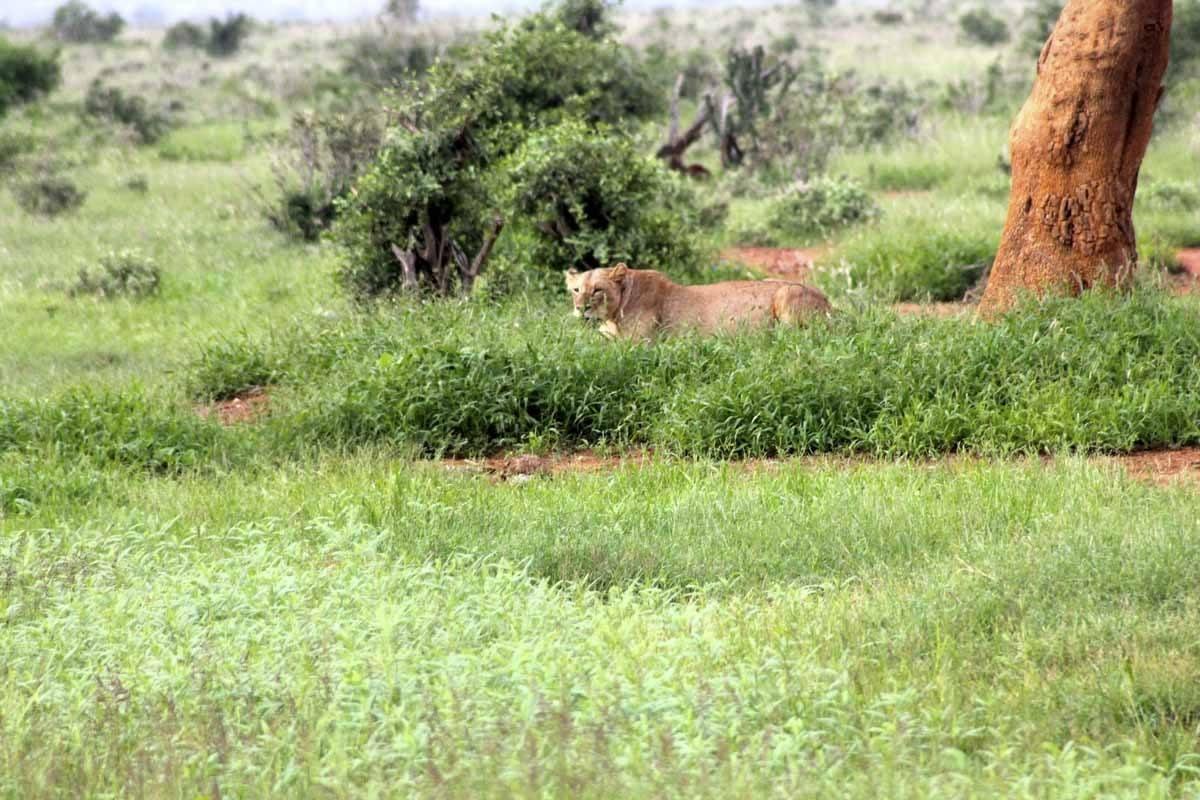 lioness tsavo kenya
