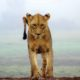 places to visit in kenya lion cub