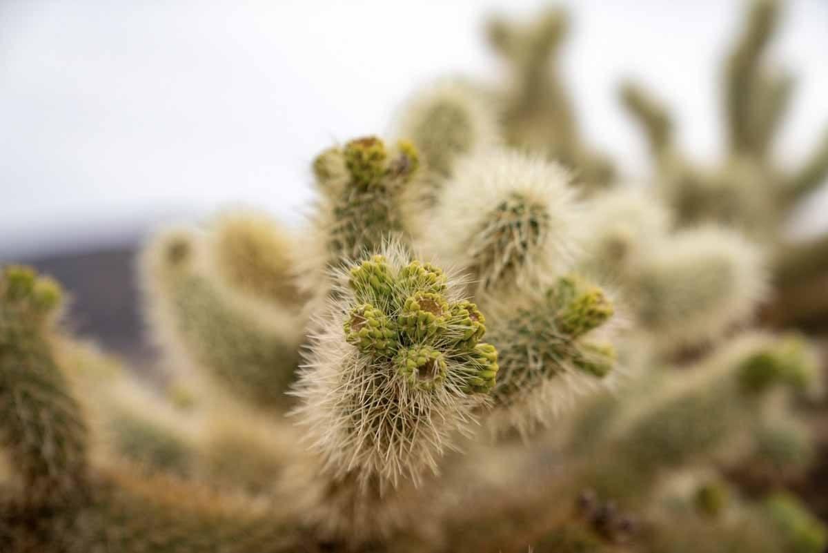 cholla cactus mojave desert