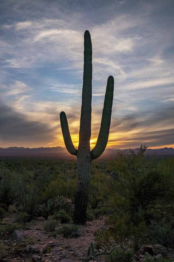 saguaro national park cactus vertical