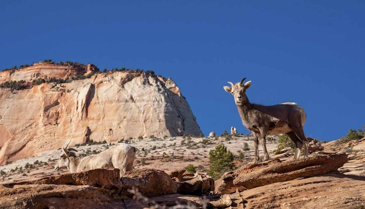 zion national park canyon mountain goat