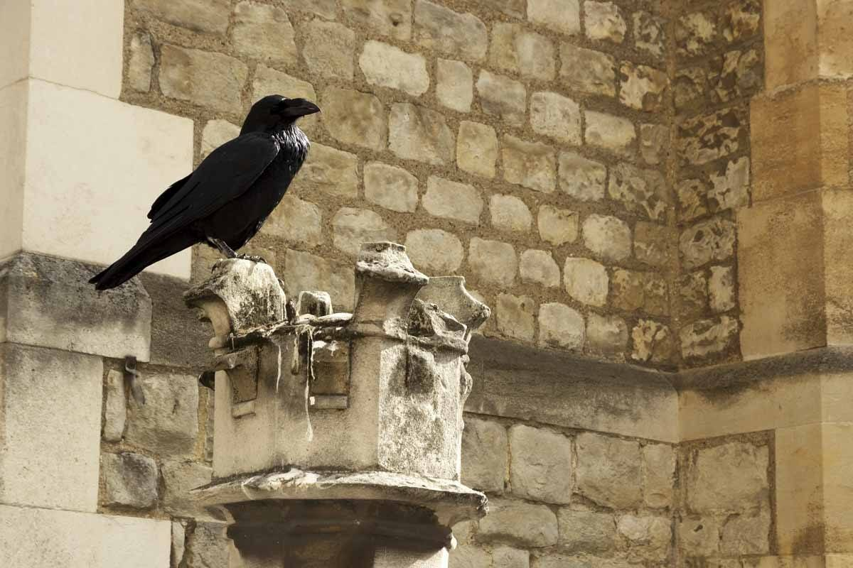 tower-of-london-ravens