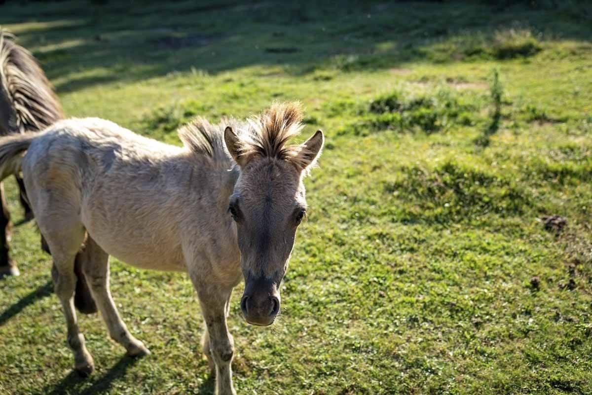 burgos paleolitico vivo baby horse