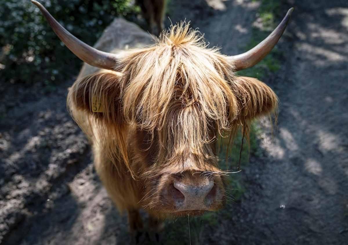 burgos paleolitico vivo cow